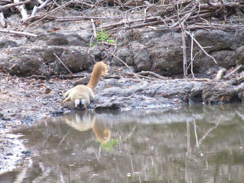 For lemurs, water holes are a matter of taste