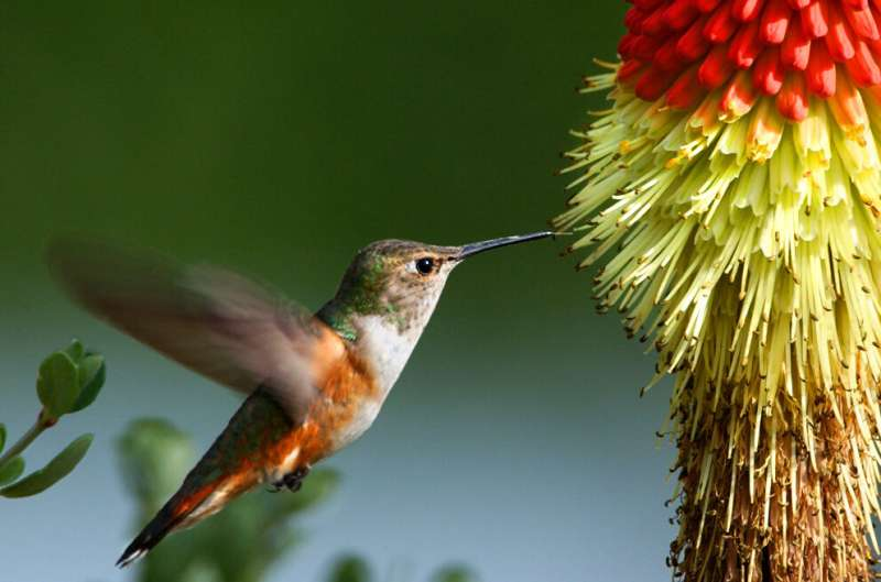 For rufous hummingbirds, migration looks different depending on age and sex