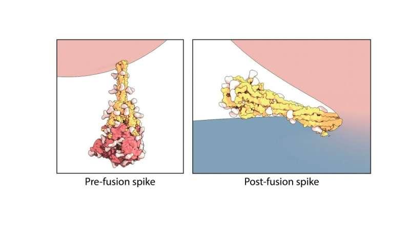 Freeze-framing the shape-shifting SARS-CoV-2 spike protein