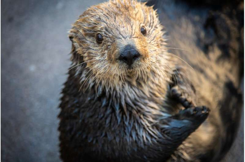 Genome of beloved sea otter Gidget now available for browsing