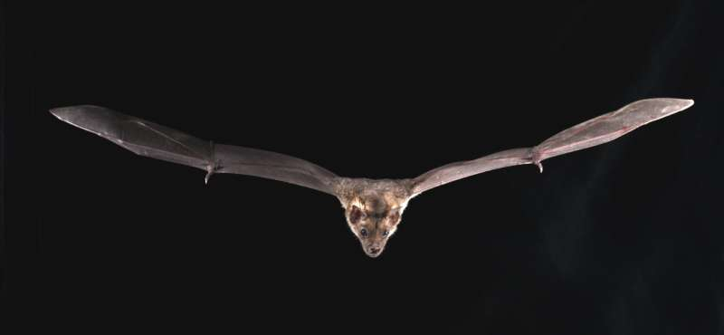 Genomic basis of bat superpowers revealed: Like how they survive deadly viruses