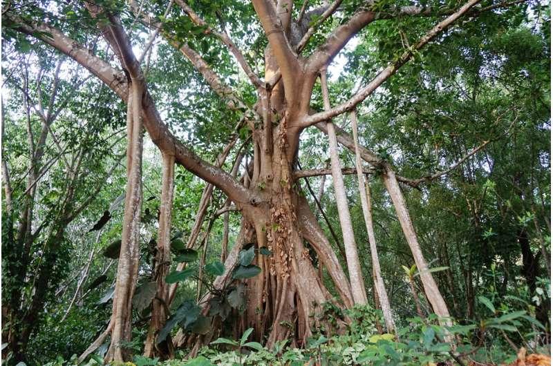 Genomic study reveals evolutionary secrets of banyan tree