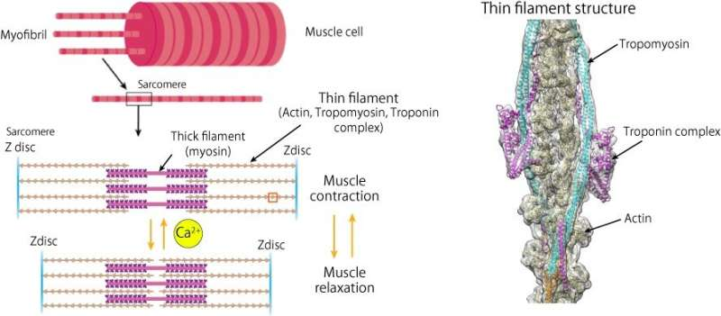 Getting to the heart of heart beats: Cardiac thin filament structure and function revealed