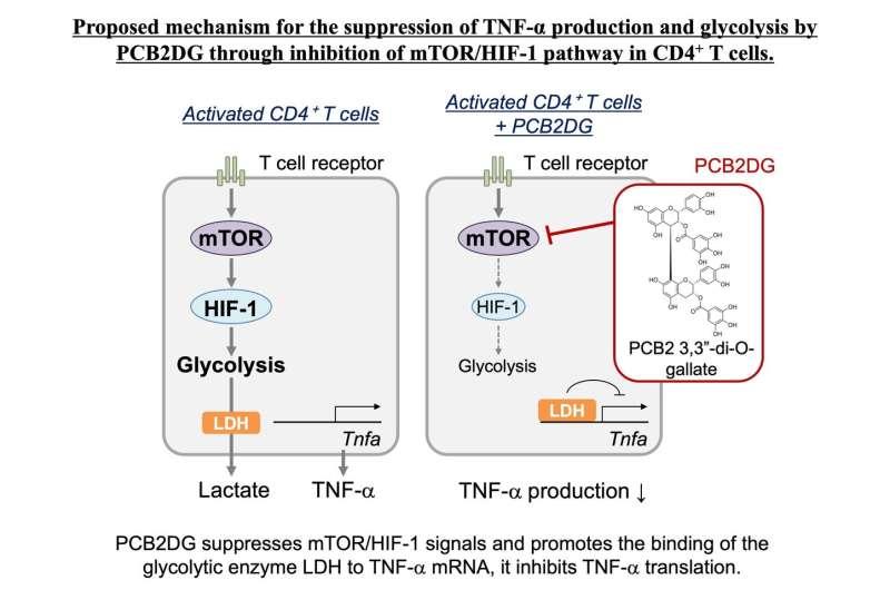 Glycolysis involved in immunosuppression by polyphenol; PCB2DG