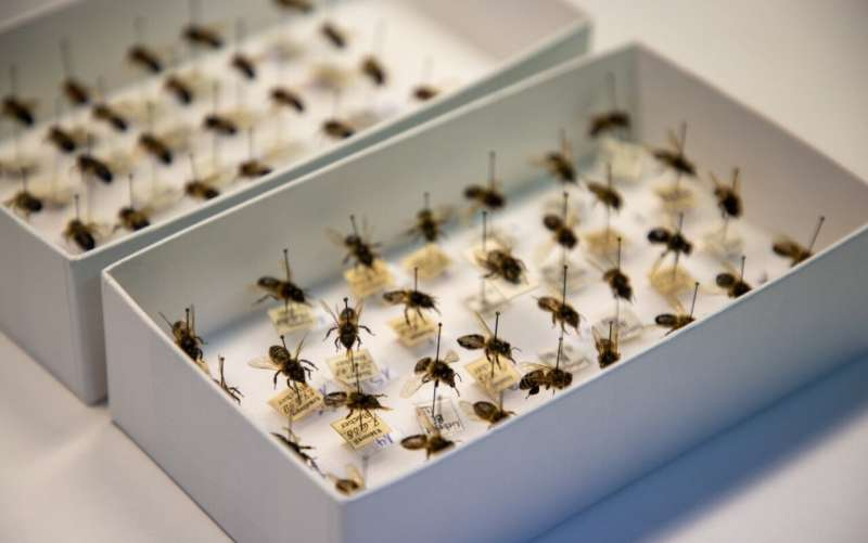 Good News for Honey Bees According to 150-Year-Old Museum Specimens