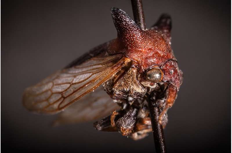 Grad student names new treehopper species after Lady Gaga