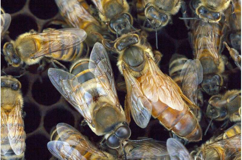 Group genomics drive aggression in honey bees