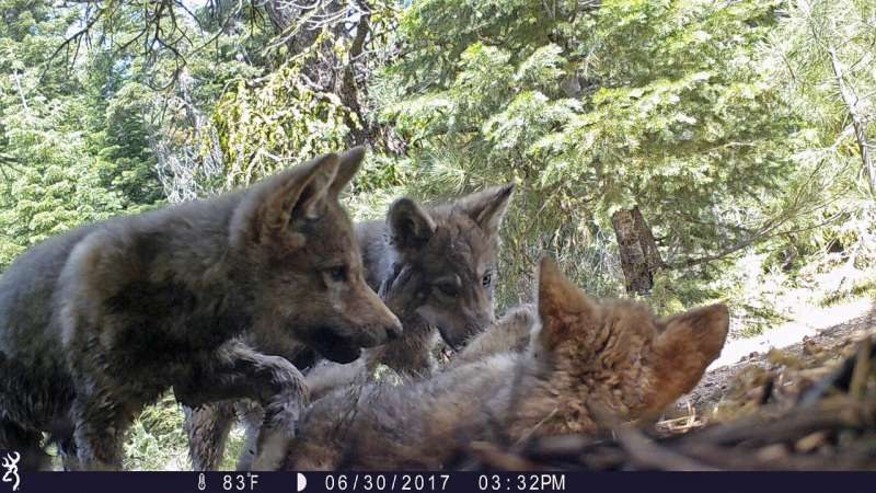 Groups fight to keep gray wolf protections for most of US