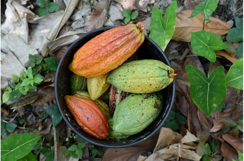 Growing demand for zero-deforestation cacao might not help Colombian forests