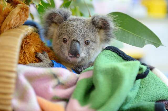 Helping endangered koalas' health—and potentially humans' too