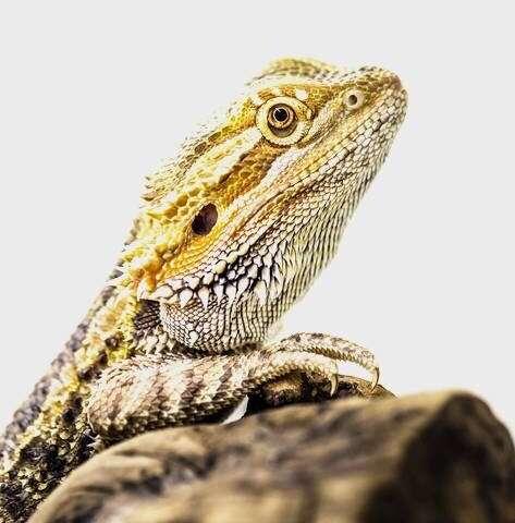 **Hidden away: An enigmatic mammalian brain area revealed in reptiles
