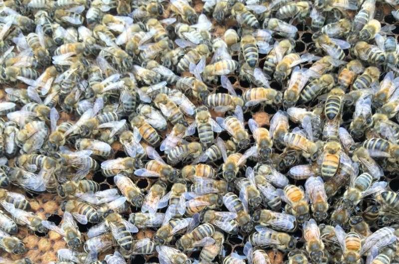 Las abejas melíferas podrían ayudar a controlar la pérdida de fertilidad de los insectos debido al cambio climático