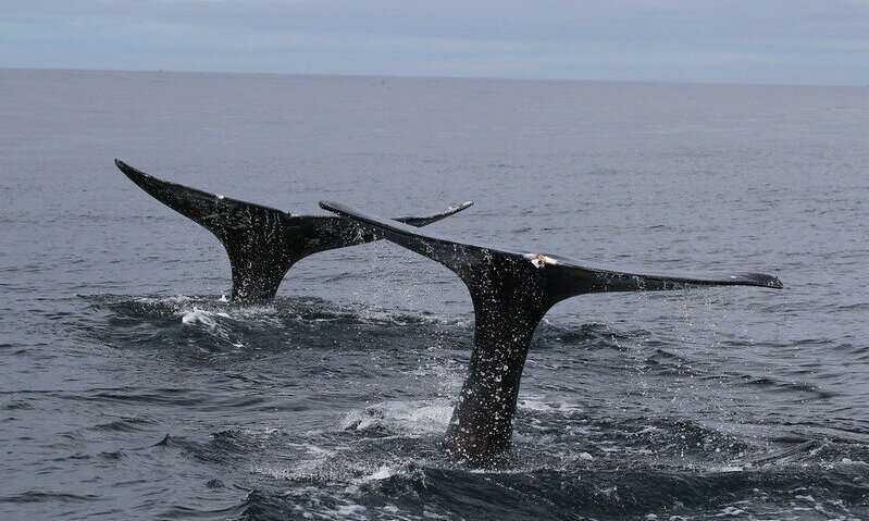 Hormone metabolites found in poop give researchers new insight into whale stress