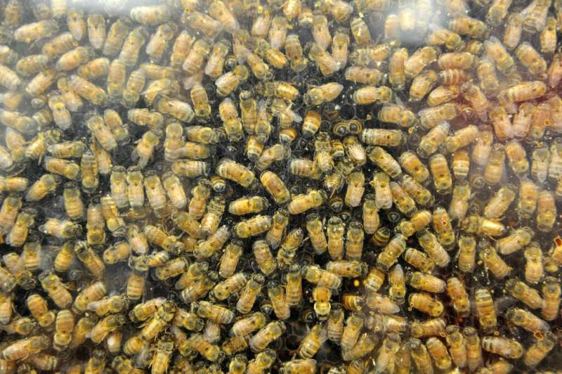 Hornets slaughter honeybees by literally biting their heads off