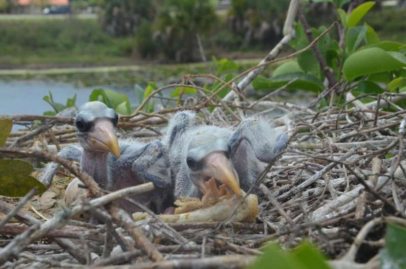 Hots dogs, chicken wings and city living helped wetland wood storks thrive