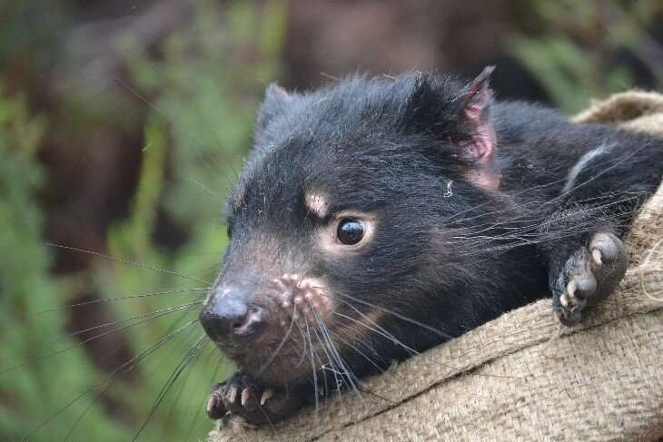 How an infectious tumor in Tasmanian devils evolved as it spread
