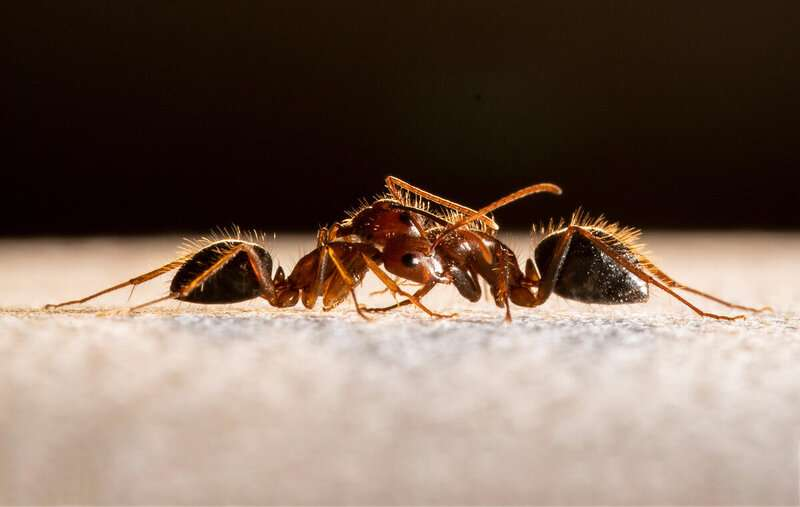 How ants get angry: Precise 'lock and key' process regulates aggression, acceptance