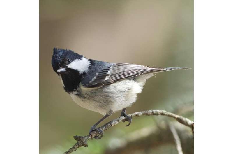 How do birds understand 'foreign' calls?