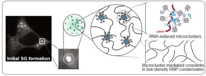 How do our cells respond to stress?