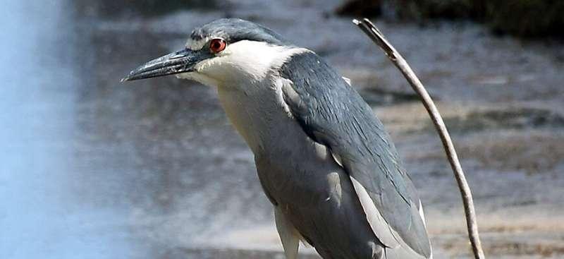 How many parasites can a bird carry?