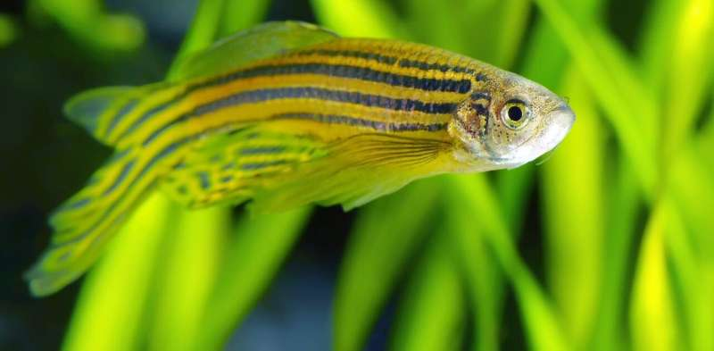 How mutant zebrafish helped unlock the secret to their stripes – new research
