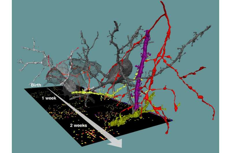How networks form: Charting the developing brain