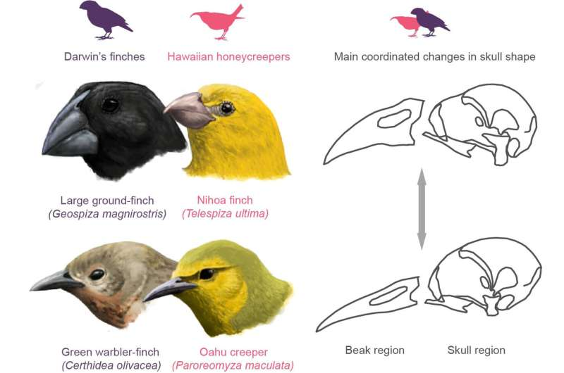 How the development of skulls and beaks made Darwin's finches one of the most diverse species