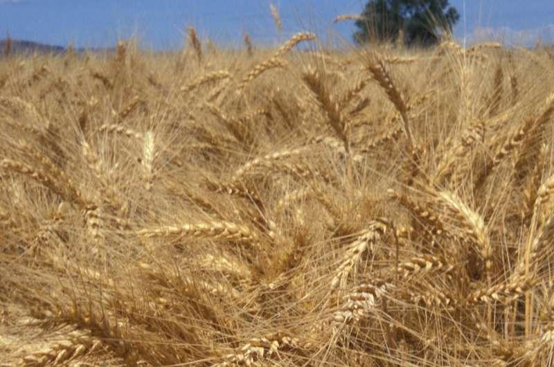 Cómo garantizar un trigo de calidad: compruebe si hay azufre en el suelo