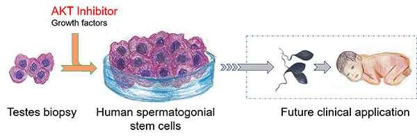 Human sperm stem cells grown in lab, an early step toward infertility treatment