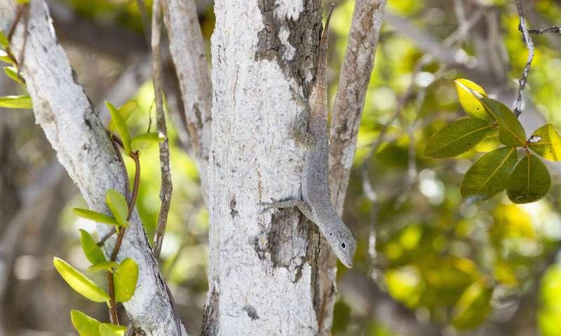 Hurricanes twist evolution in island lizards