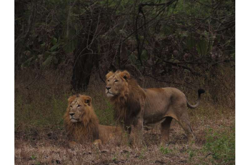 Improving assessments of an endangered lion population in India