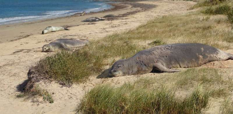 In a land of ancient giants, these small oddball seals once called Australia home