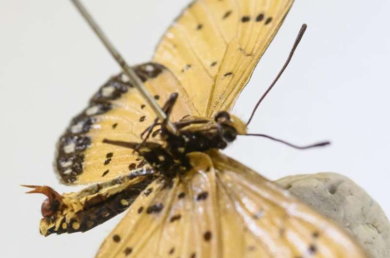 In butterfly battle of sexes, males deploy 'chastity belts' but females fight back