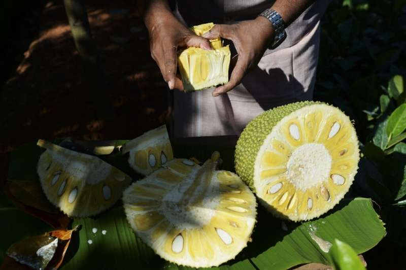"India, the world's biggest producer of jackfruit, is capitalising on its growing popularity as a ""superfood"" meat alte"