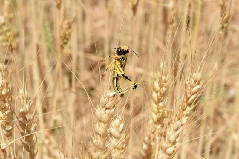 Individually, locusts are not particularly harmful, but they are hugely destructive when they form swarms