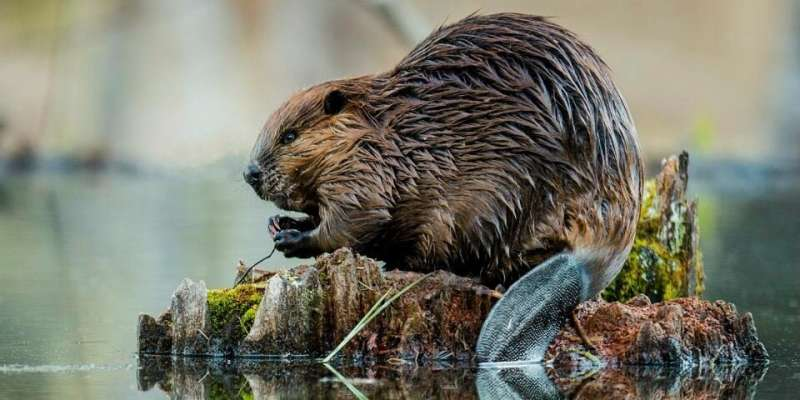 Industrial 'borrow pits' benefit beavers and wolverines, study shows