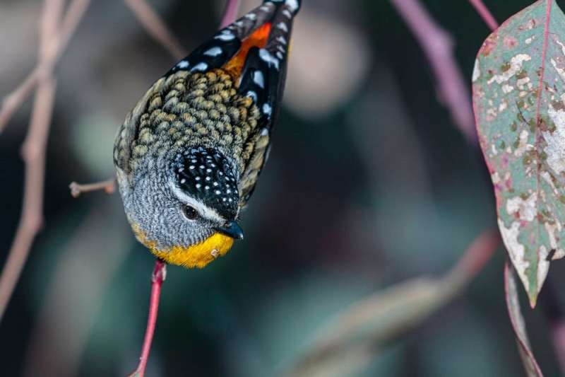 In praise of pardalotes, unique birds living in a damaged country