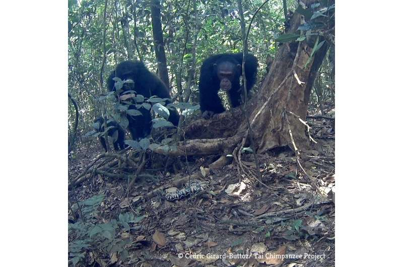 In the wild, chimpanzees are more motivated to cooperate than bonobos