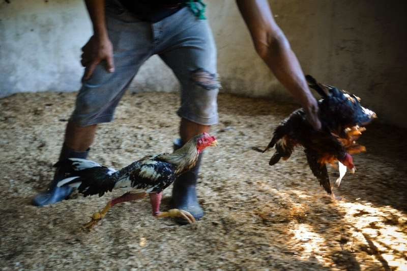 In training—cock fighting is a traditional sport in many parts of the world