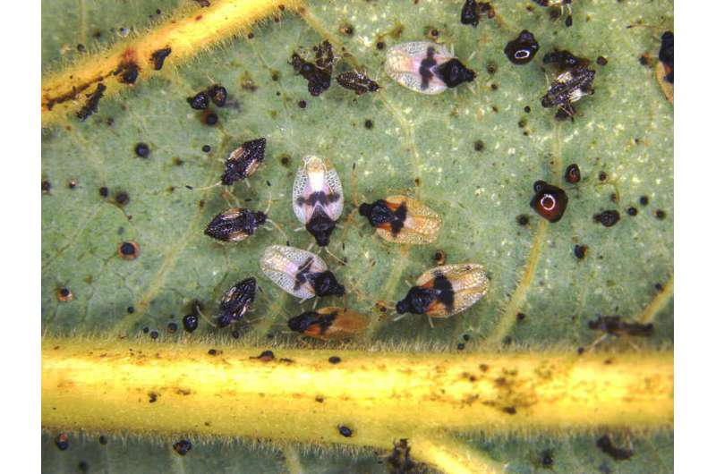 Invasive bug found feeding on avocado plants in Hawaii