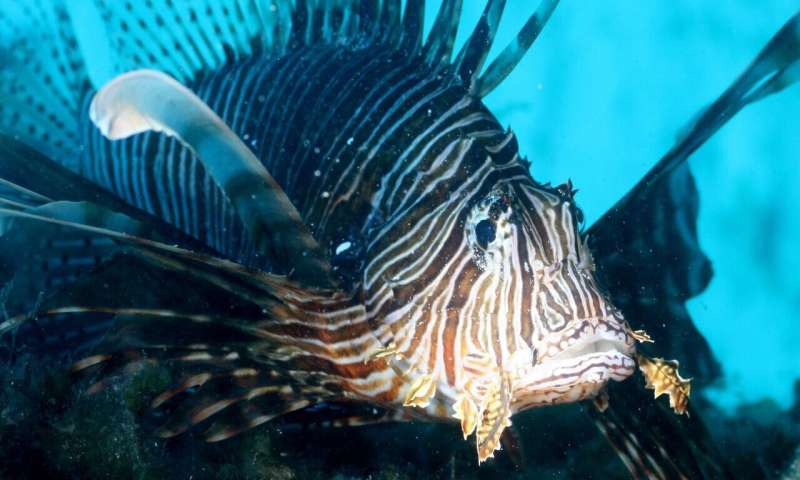 Invasive lionfish likely to become permanent residents in the Mediterranean
