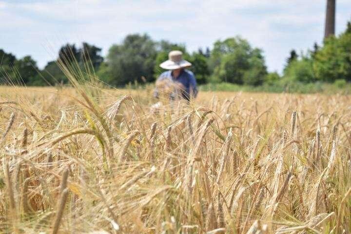 IPK scientists discover gene that ensures slim inflorescence shape of barley