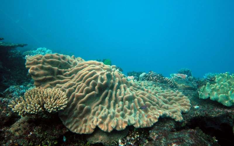 Iron deficiency in corals?