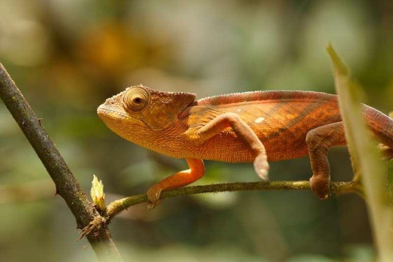 Kenyan fossil reveals chameleons may have 'rafted' from Africa to Madagascar