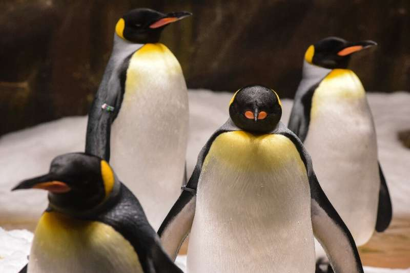 King penguins emit high levels of nitrous oxide, or laughing gas, that is 300 times more polluting than carbon dioxide