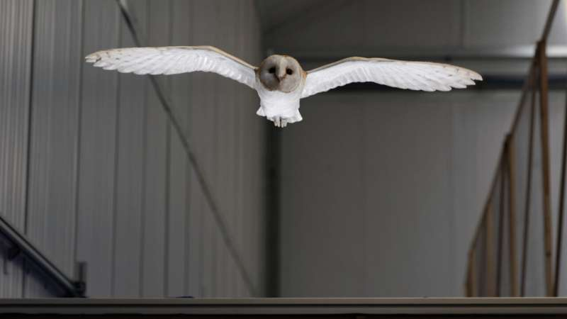 Lily the barn owl reveals how birds fly in gusty winds