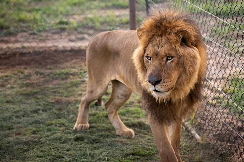 """Lions are classified as a """"vulnerable"""" species and their population dropped 43 percent between 1993 and 2014, with onl"""