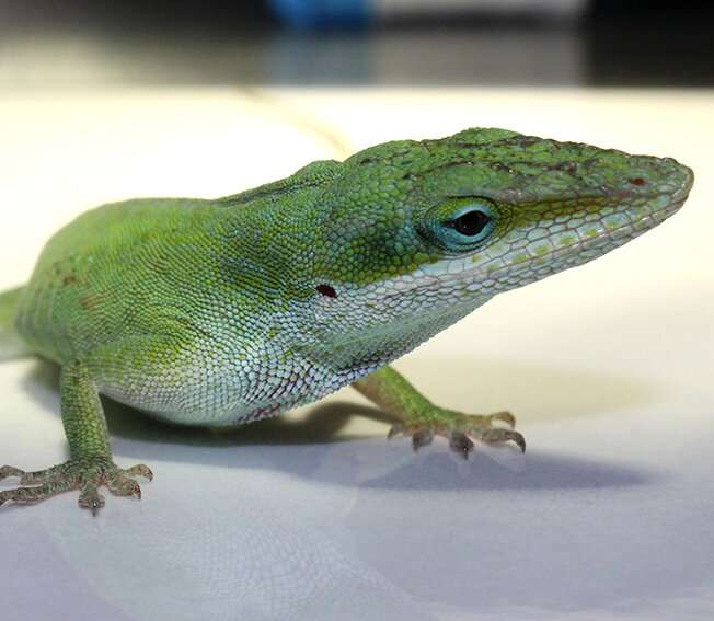 Lizards' immune systems are not only for fighting germs, but also for regrowing severed tails
