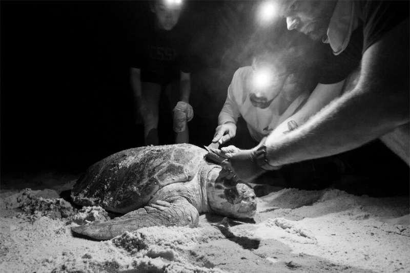 Loggerhead sea turtles host diverse community of miniature organisms