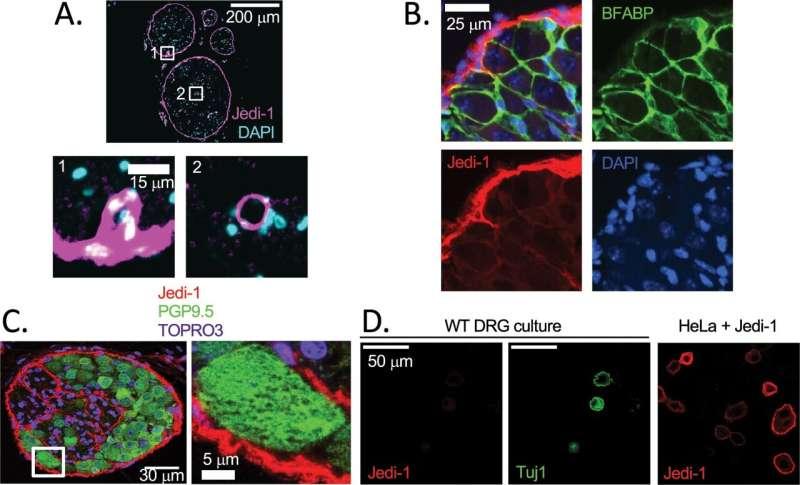 Loss of 'Jedi' receptor alters neuron activity